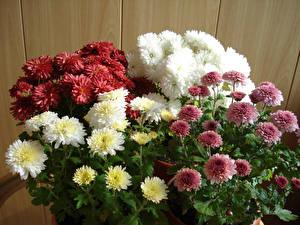 Фото Хризантемы Крупным планом Разноцветные Цветы