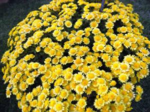 Картинка Хризантемы Вблизи Желтый Цветы