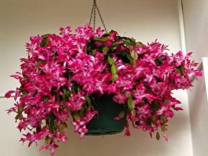 Фотография Вблизи Розовый Schlumbergera Цветы