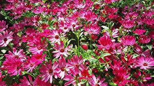 Фото Космея Крупным планом цветок