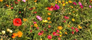 Картинки Космея Маки Лютик Цветы