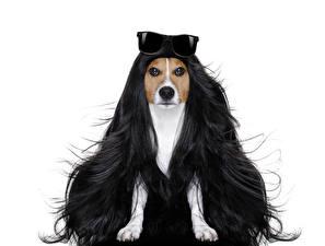 Фотография Оригинальные Собаки Белый фон Джек-рассел-терьер Волосы Очки Животные
