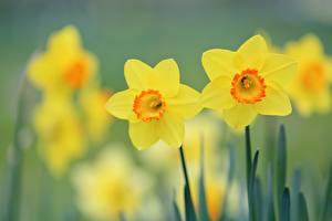 Фотографии Нарциссы Желтый цветок