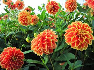 Фотографии Георгины Крупным планом Бутон Оранжевых Цветы
