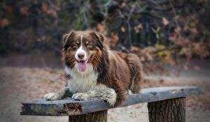 Фото Собаки Австралийская овчарка Язык (анатомия) Скамья Животные