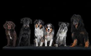 Картинка Собаки Черный фон Спаниель Животные