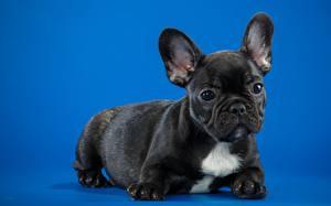 Картинки Собаки Французский бульдог Щенок Черный Цветной фон Животные