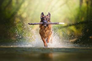 Фото Собаки Бег Брызги Овчарка Животные