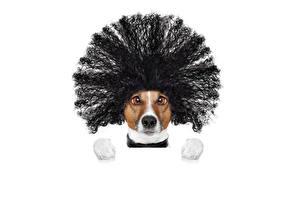 Картинка Собаки Белый фон Джек-рассел-терьер Волосы Морда Смотрит