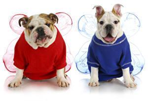 Картинки Собаки Одежда 2 Двое Бульдог Униформа Крылья Животные