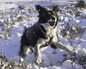 Фото Собаки Зима Снег Бордер-колли
