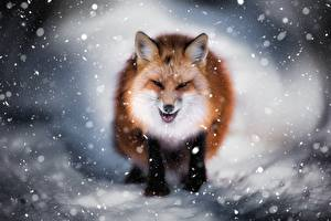 Фотографии Лисы Снежинки Животные