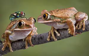 Фотографии Лягушки Мухи Цветной фон Вдвоем Ветвь животное