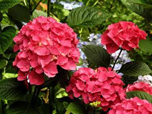 Картинки Гортензия Вблизи Розовая цветок