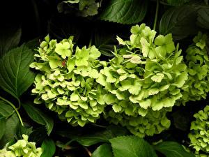 Фотография Гортензия Вблизи Салатовый Цветы