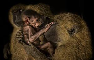 Фотография Обезьяны Детеныши Черный фон Животные