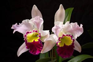 Картинки Орхидеи Вблизи Черный фон Двое