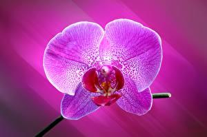 Фотографии Орхидеи Крупным планом Розовый Цветы