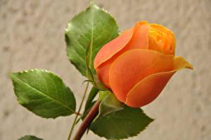 Фото Розы Крупным планом Цветной фон Оранжевый Цветы