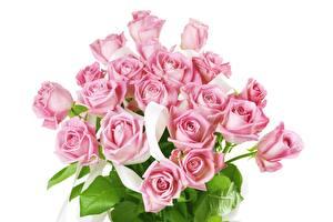 Фотография Розы Розовый Белый фон Цветы