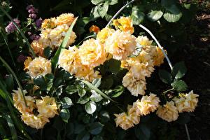 Обои Розы Желтые Цветы