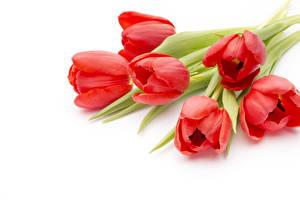 Обои Тюльпаны Вблизи Белый фон Красный Цветы