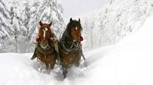 Фотографии Зима Лошадь Снег Двое Движение животное