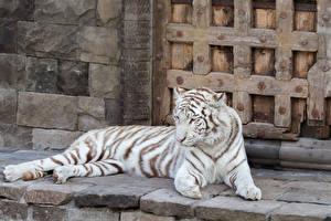 Картинки Большие кошки Тигры Белый
