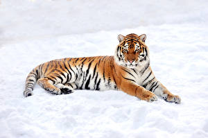 Обои для рабочего стола Большие кошки Тигры Зимние Снеге Взгляд Животные