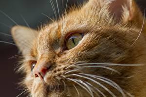 Картинка Кошки Усы Вибриссы Морда Смотрит Рыжий Животные