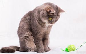 Картинки Коты Белый фон Мяч Животные