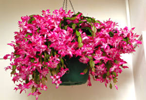 Фотографии Крупным планом Розовый Цветочный горшок Schlumbergera (Zygocactus) Цветы