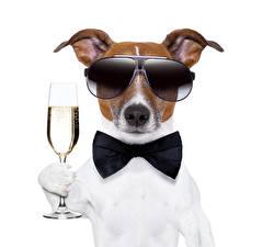 Фотография Собаки Шампанское Белый фон Джек-рассел-терьер Очки Бокалы Галстук-бабочка Животные