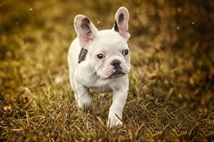Картинки Собаки Французский бульдог Белый Щенок Смотрит Животные