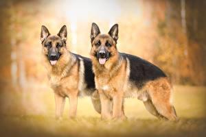 Фотографии Собака Немецкая овчарка Две животное