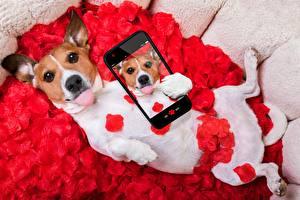 Картинка Собака Джек-рассел-терьер Селфи Сматфоном животное