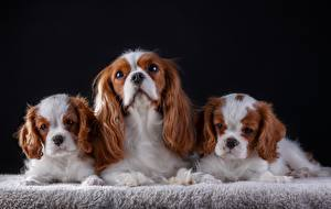 Картинки Собака Кинг чарльз спаниель Втроем животное