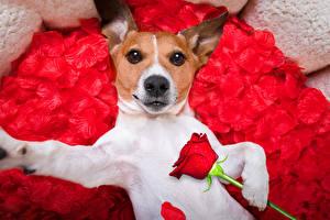 Картинка Собаки Розы Джек-рассел-терьер Красный Смотрит