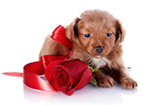 Картинки Собаки Розы Белый фон Щенок Красный Ленточка Животные Цветы