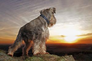 Фотография Собаки Рассветы и закаты Шнауцер Животные