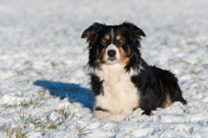Фотография Собаки Зимние Снег Бордер-колли Смотрит Животные