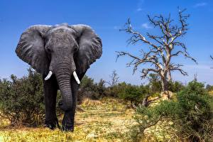 Фотография Слоны Африка Okavango Delta, Safari, Botswana