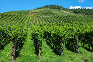 Картинка Германия Поля Виноградник Кустов Траве Moselle Природа