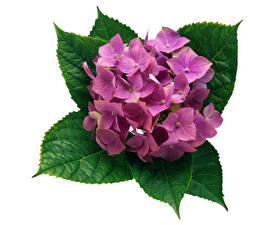 Фото Гортензия Крупным планом Белый фон Розовый Листья Цветы