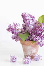 Фото Сирень Крупным планом Белый фон Цветочный горшок Цветы