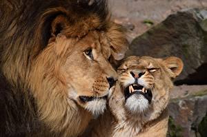 Фотографии Львы Львица Клыки Животные