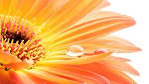 Фотографии Макро Вблизи Герберы Оранжевый Капли Цветы