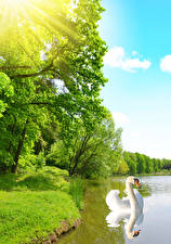 Фотография Пруд Лебеди Деревья Лучи света Природа