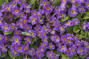 Фото Первоцвет Вблизи Фиолетовый Цветы
