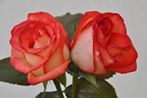 Картинка Розы Вблизи Сером фоне Красные Вдвоем Цветы
